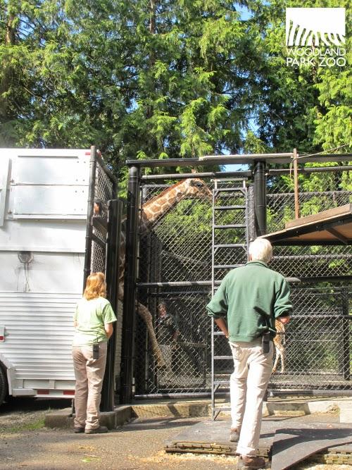 Dave giraffe 6_2_14 Pisto (4)_STAMP